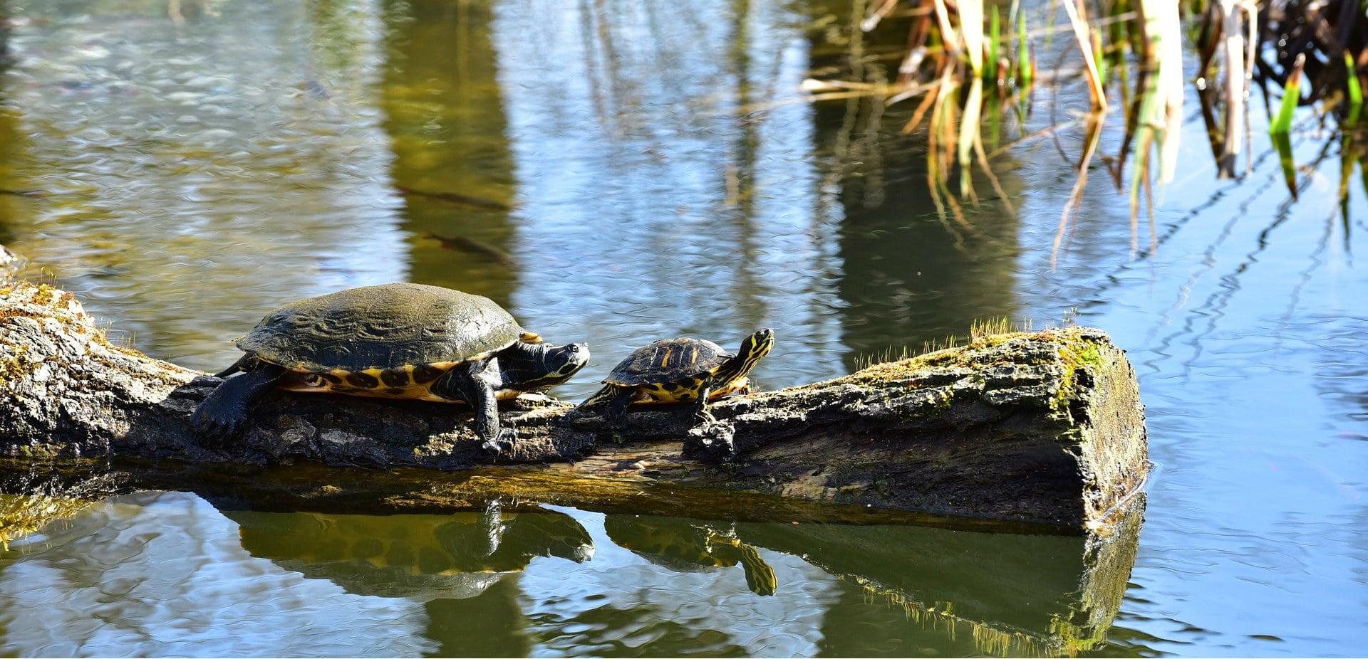 la tortue ira loin